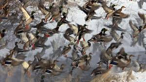 cool hunting backgrounds. Cool Duck Hunting Wallpaper Backgrounds