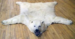 more scientific evidence that polar bears are doing just fine a 30 42 increase in population with some of them as fat as pigs watts up with that