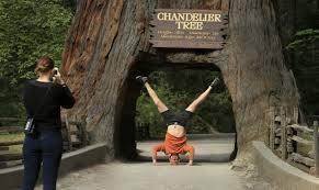 famous drive thru redwood tree chandelier tree beaded chandelier drive through redwood tree national park