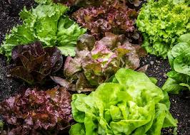 Lettuce Types Chart Lettuce Planting Growing And Harvesting Lettuce The Old
