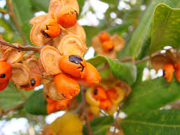 Small Fruit Trees For Hedgerows Or Container PlantsSmall Orange Fruit On Tree