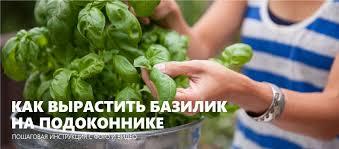 <b>Базилик</b> на подоконнике: 5 шагов выращивания с фото и видео