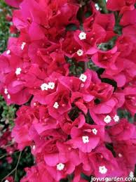 it s a very popular landscape plant here in southern california i share everything i know about caring for growing bougainvillea