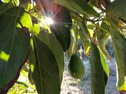 Growing Avocados In Southern California Greg Alders Yard