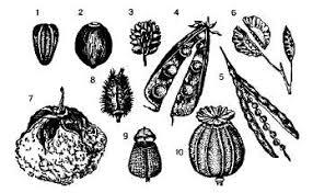 Плоды и семена Сухие плоды 1 семянка подсолнечника 2 орех лещины 3 сборная семянка лютика 4 боб гороха 5 стручок капусты 6 стручочек ярутки