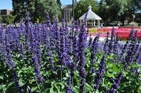 garden as well as making a good cut flower plants had dark green foliage strong upright growth habit excellent branching and very uniform overall