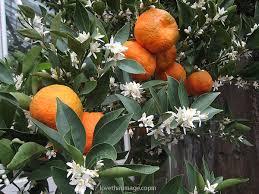 orange fruit tree flower page 5
