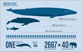 Whale Size Chart Blue Whale Size Chart World Of Printables Menu