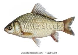 pic of fish. Contemporary Pic 135 Results  Sorted By Relevance In Descending Order To Pic Of Fish R