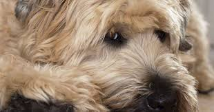 Wheaten Terrier Size Chart Wheaten Terrier Dog Breed Information The Soft Coated