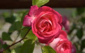 Roses Flowers Wallpapers Roses Flower Roses Photos Roses Wallpaper For Your Desktop Red
