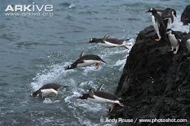 Image result for gentoo penguin