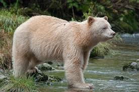 Image result for spirit bear