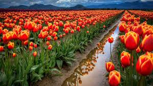 spring tulip desktop wallpaper. Simple Desktop Spring Flowers Field With Red Tulips Desktop Wallpaper Full Screen 19201200 Throughout Tulip