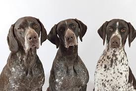 Meet the German Shorthaired Pointer