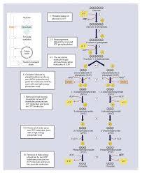 Glycolysis Cycle Botany Studies