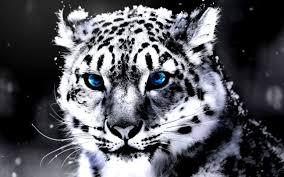 white tiger wallpaper hd 1080p. Interesting White View Original Size White Tiger Hd Wallpapers And Background In Wallpaper 1080p T