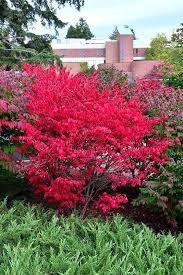 steins garden home green bay wi find compact nged burning bush in green bay at steins steins garden home