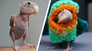 featherless parrot. Unique Featherless Adorable Naked Bird Becomes Internet Sensation For Featherless Parrot R
