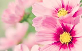 flower wall paper download pink flower wallpaper hd wallpaper download 59 accomodations asia