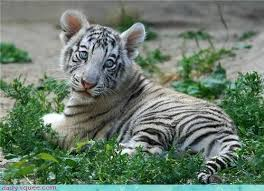 baby white tigers with blue eyes. Baby Blue Eyes Tiger Cub White 4350390784 In Tigers With