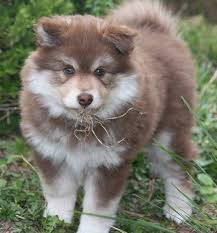 the finnish lapphund is one of the dog breeds that looks similar to a wolf