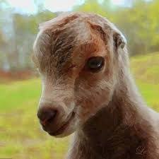 Lamancha Goats Google Search Goats Baby Goats Animals