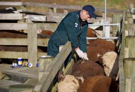 eradicating bovine tb from molesworth/ clarence reserve