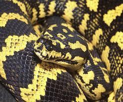 carpet python. vpi jungle carpet python