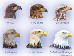 juvenile im bald eagles avian