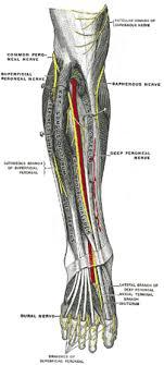 Leg Wikipedia Superficial Peroneal Nerve Wikipedia