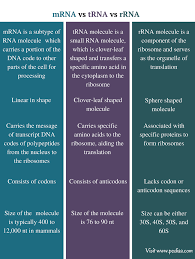 Similarities And Differences Between Mrna And Trna Chart Difference Between Mrna Trna And Rrna Definition Features