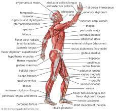 Muscle is located in the buttocks and is regarded as one of the strongest muscles in the human body. Human Muscle System Functions Diagram Facts Britannica
