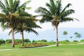coconut palm tree com coconut palm trees on hainan island