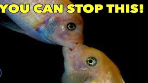 African Cichlid Aggression Chart Defeating African Cichlid Aggression Stop African Cichlid Aggression Prevent Cichlid Aggression