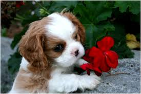 cavaliers dogs. Contemporary Cavaliers I Am A Small Breeder Of AKC Cavalier King Charles Spaniels We Are Located  In Hood River Oregon And Also Spend Part Our Time The Beautiful State  Intended Cavaliers Dogs