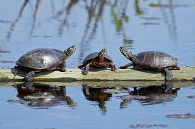 Painted Turtles As Pets Aquatic Turtle Care