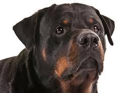 rottweiler dog mean. rottweiler dog mean