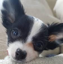 De <b>Landas</b> Chihuahuas - Posts | Facebook