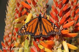 monarch butterflies caterpillars and aloes thrive in a san diego  rick s aloe and butterfly garden