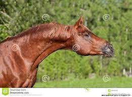 chestnut arabian horse wallpaper. Beautiful Wallpaper 1222x905 Chestnut Arabian Horse Wallpaper  Wallpapers Background And L