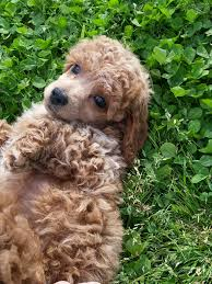 your marjo poodle puppy includes