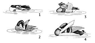Брачное поведение птиц Зоология Реферат доклад сообщение  Рис 179 Демонстрационное брачное поведение у уток ритуальная чистка перьев смещенная активность 1 пеганка 2 чирок трескунок 3 мандаринка