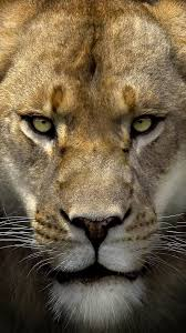 Lion Face iPhone 6S Plus Wallpaper ...