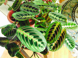 This is a prayer plant grows about 1 ft. high and wide. Leaves tend to be  flat during the day, and folded at night (thus