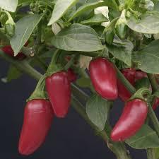 Image result for jalapeno chili pepper plants