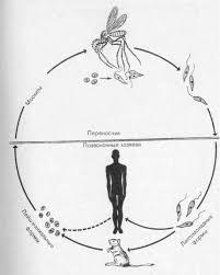 Схема жизненного цикла лейшмании