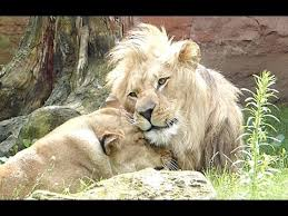 lioness and lion cuddle. Plain And Lion And Lioness Cuddling  Lwen Schmusen And Cuddle YouTube