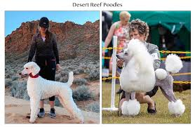 but no doubt they ll all make perfect panions pas are both gorgeous poodles with amazing pedigrees super sweet and fun raments as well