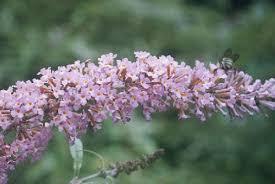 Buddleja davidii in Flora of China @ efloras.org